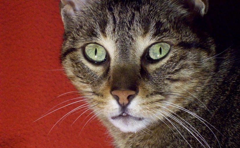Wymioty u kota – co może je powodować?